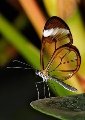 На краю Glasswing стеклокрылка Nymphalidae