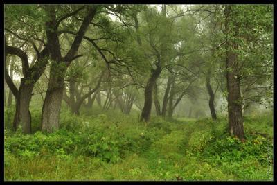 Ежиков лес лес, туман