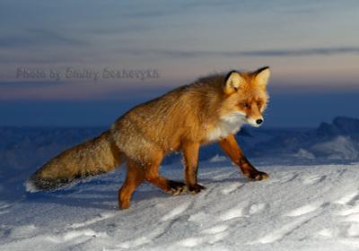Еще лисичка. лисица зима Арктика ночь