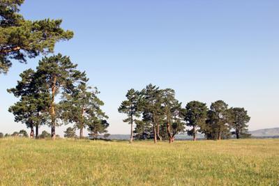 Сосны лес небо Россия Сибирь пейзаж поле