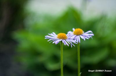 Ромашки TangodeZorros Цветок природа Ромашки