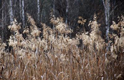 Камыш осенью Сибирь Красноярский край осень природа камыш