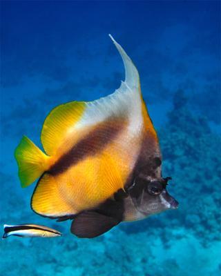 Флаговая кабуба Флаговая, кабуба, Heniochus, intermedius, Red, Sea, bannerfish