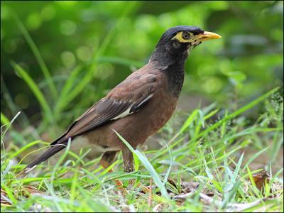 Скворец по-тайски майна скворец птица