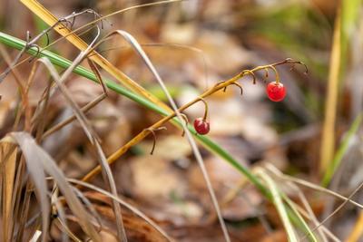 Осенние ягоды ландыша.