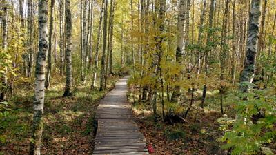 Березовая роща Осень роща березы тропинка