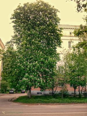 Каштан зацвел Коломна Россия москва область.май каштан Короновирус.природа.город