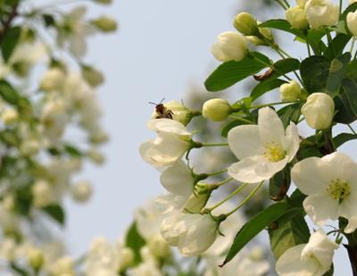Яблоня в цвету весна дерево яблоня