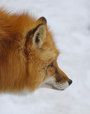 ..Лисьи раздумья...** лиса думы краса зверь совершенство
