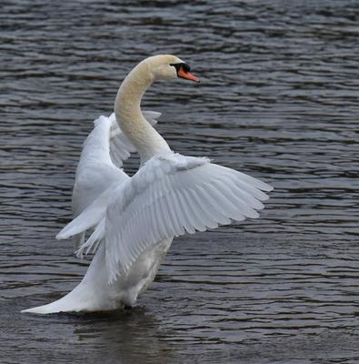 Остановленное движение_5 лебедь утренний моцион