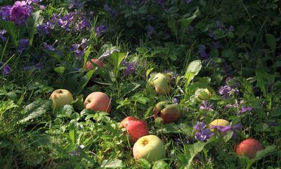 Августовское утро в саду. цветы плоды роса и солнце