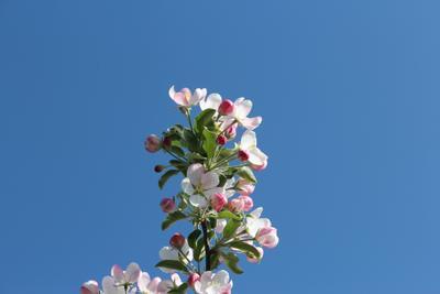 *Ветка яблони* Голубое небо цветы ветка