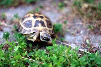 *** черепаха
