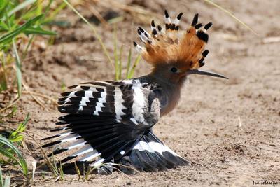 Удод новокуйбышевск природа птица птицы самара самарская область удод удоды фотоохота
