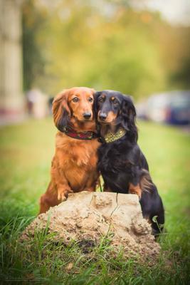 ***Две подружки. Собака Такса Животные Сентябрь Осень