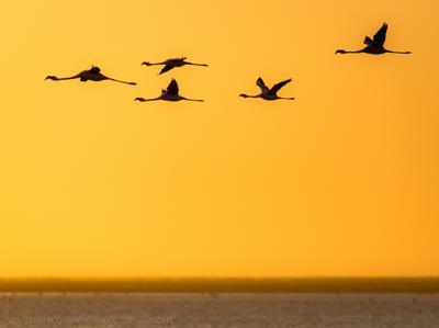 фламинго на юг птицы полет Африка закат