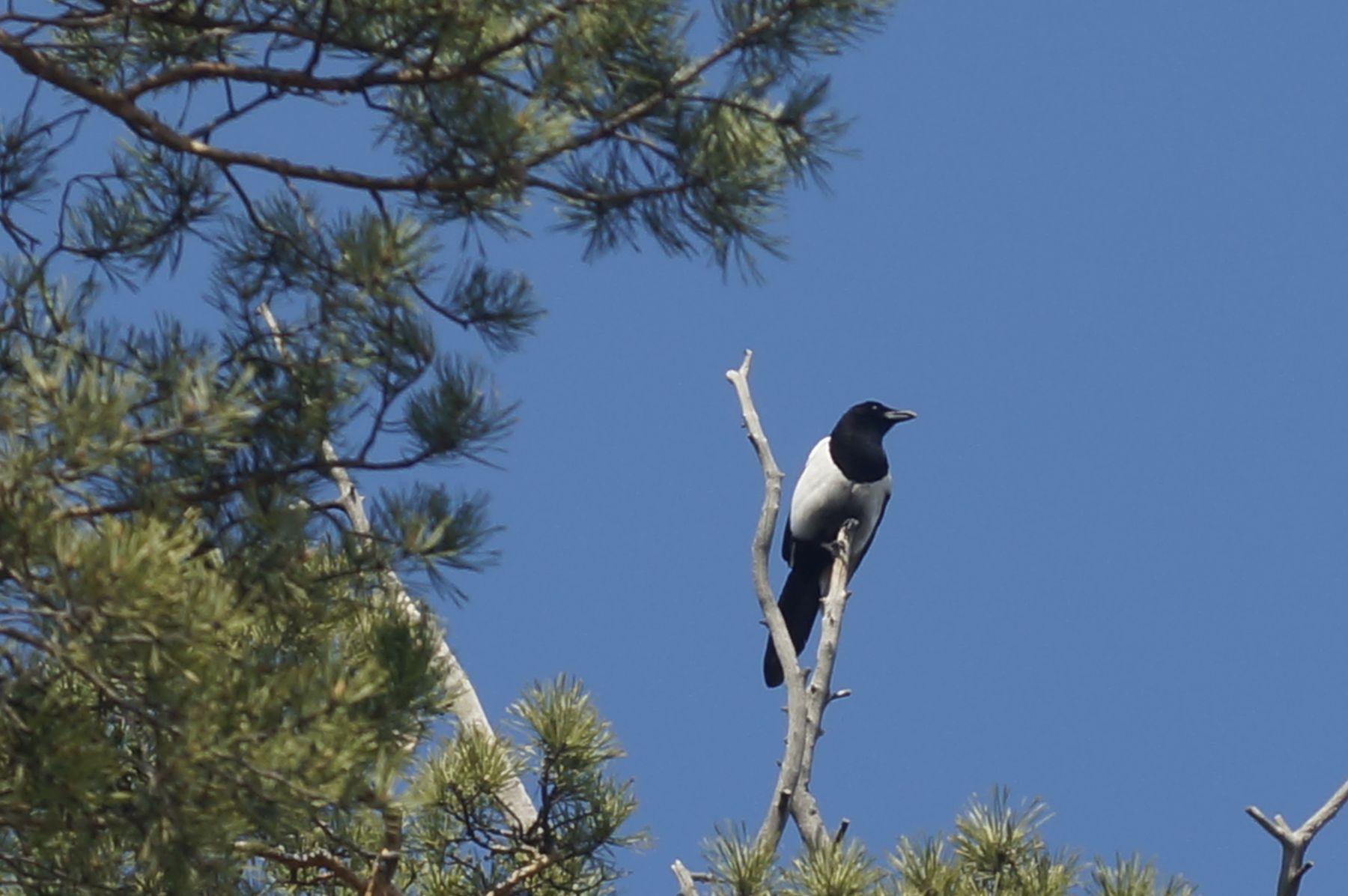 Сорока-белобока сорока весна лес птица сосна небо