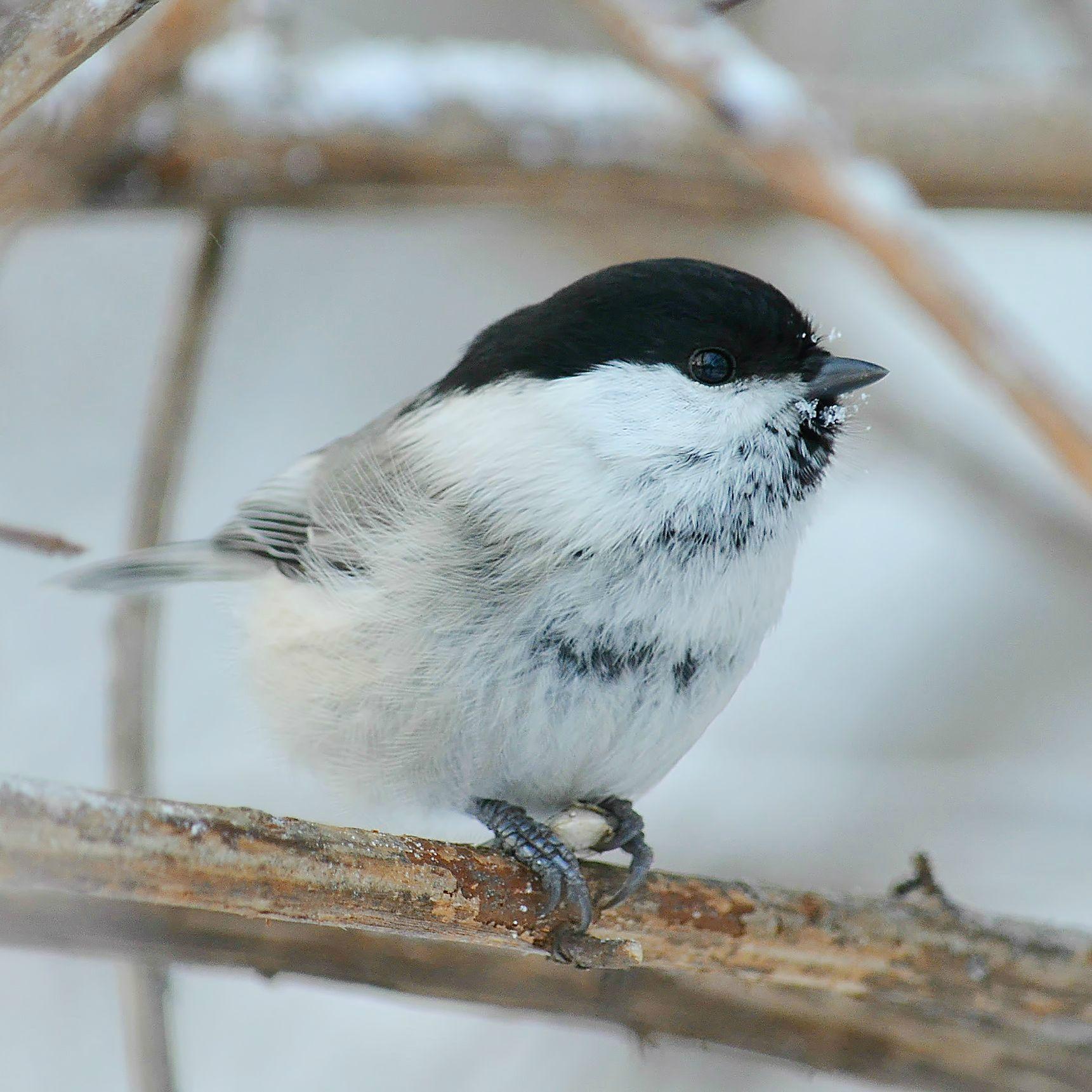 Гаичка птица гаичка