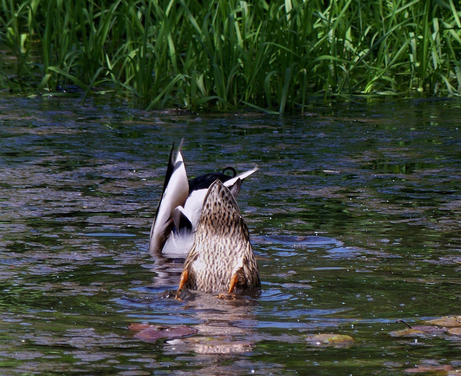 Синхронное плавание Водоём утка селезень добыча корма