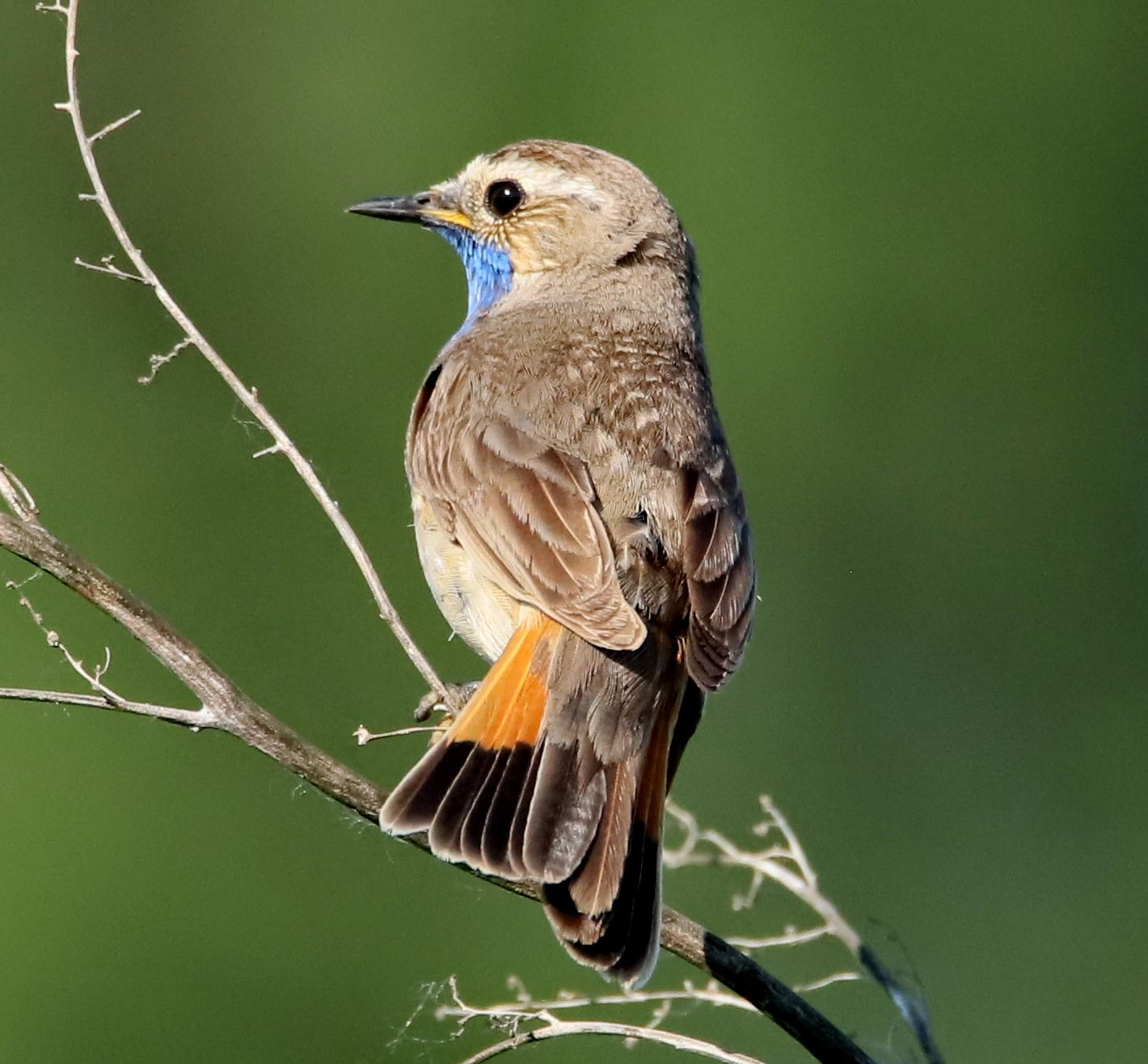 Варакушка Варакушка птица