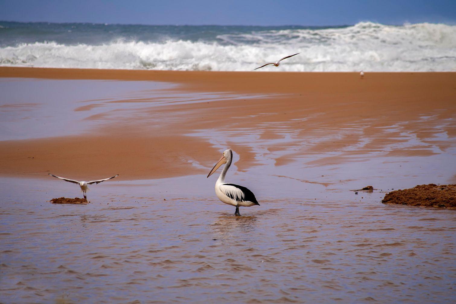 Пейзаж с пеликаном... Сидней лагуна пеликан