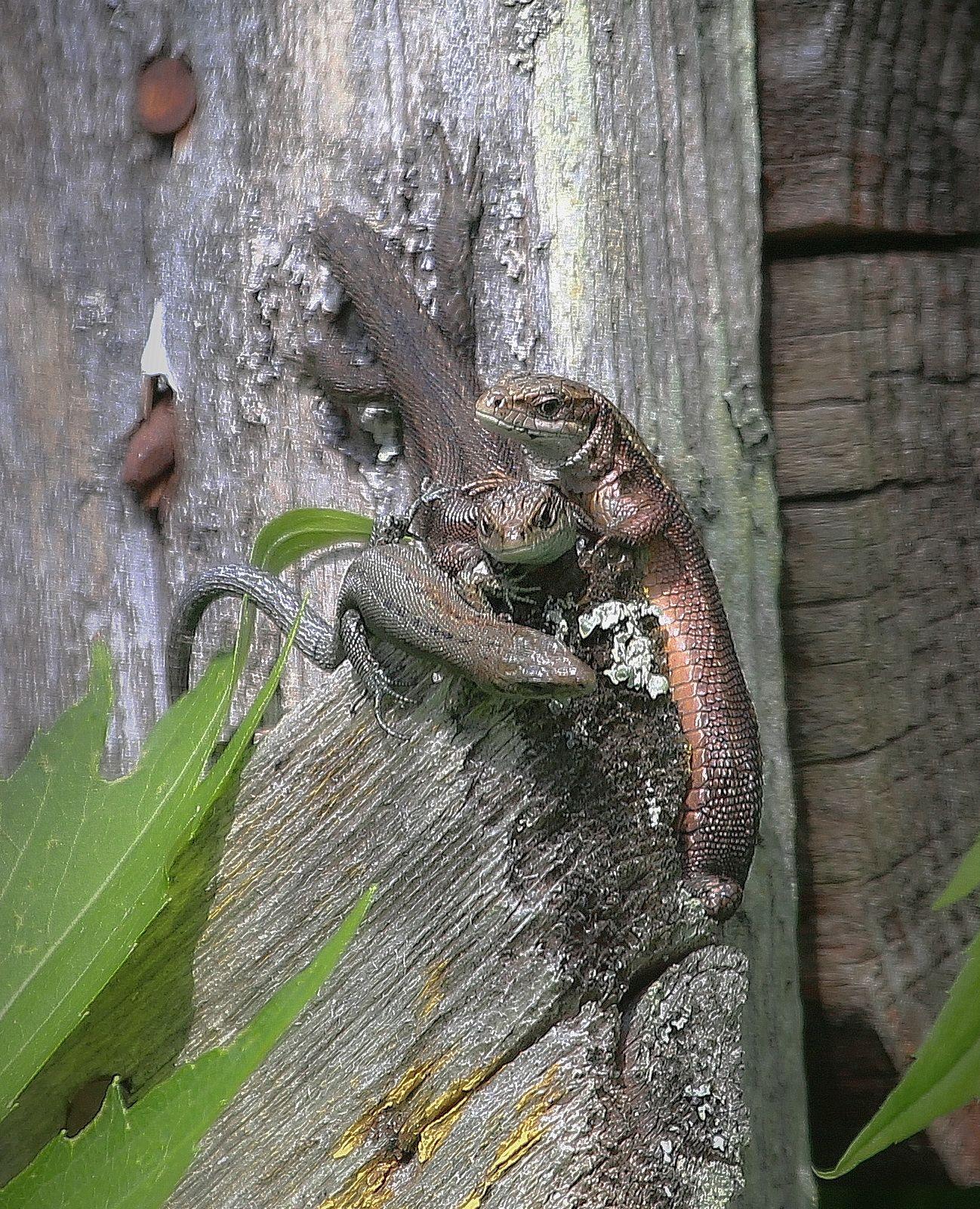 ***семейство ... ящерица охота природа