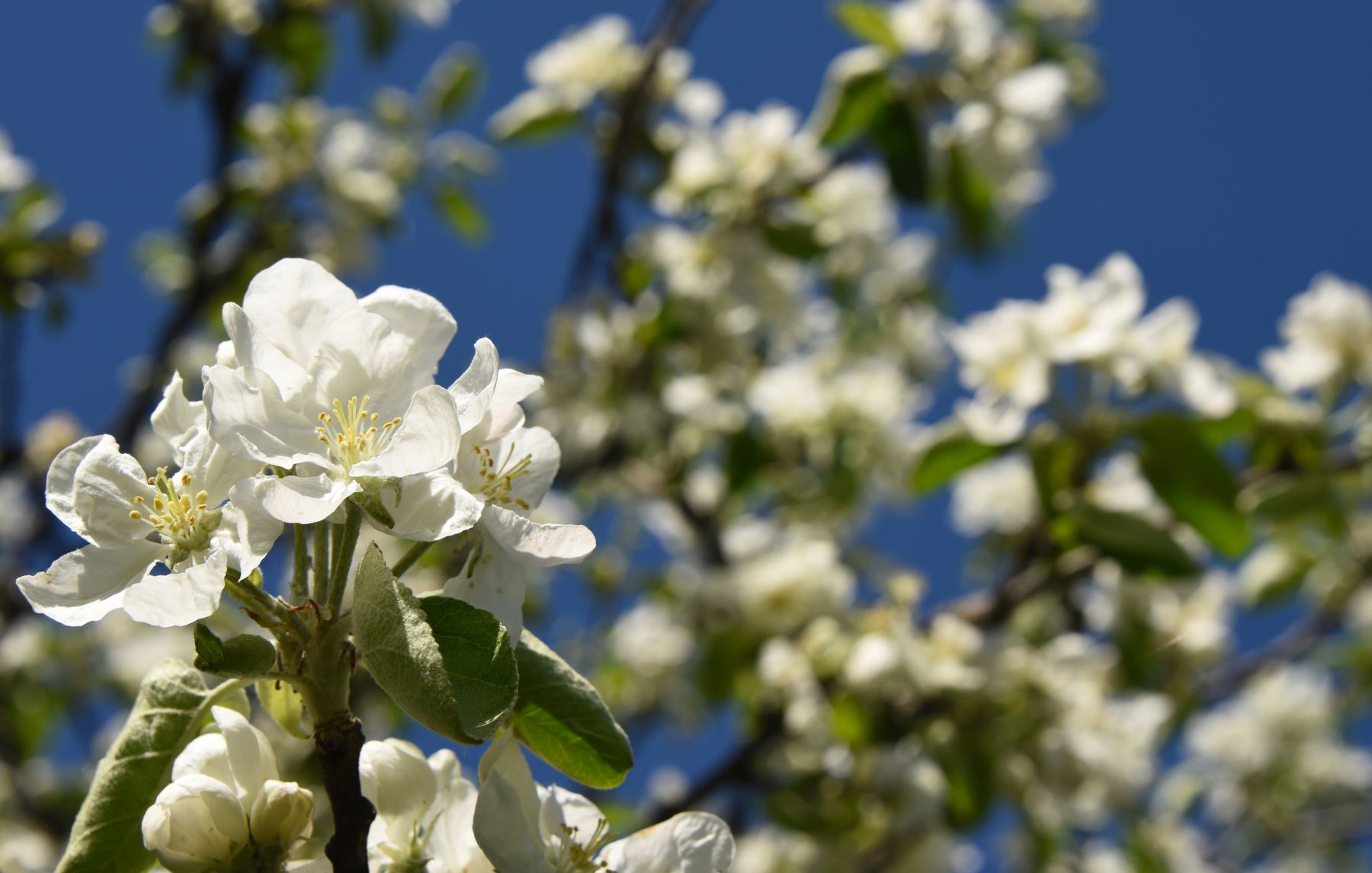 *в яблоневом саду*