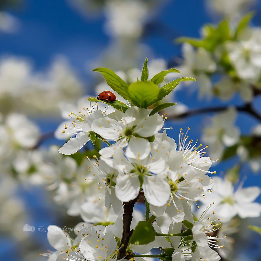 Божья коровка на вишне насекомое жук весна весеннее цветение