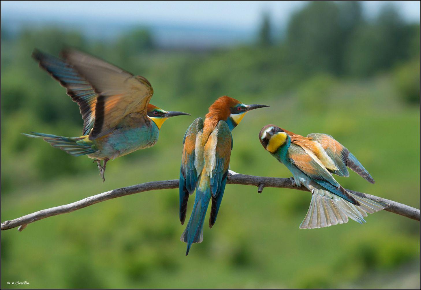 Три грации птицы щурки три грации