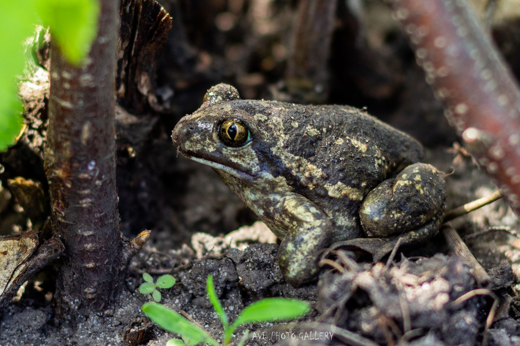Земляная лягушка Лягушка земляная лягушка