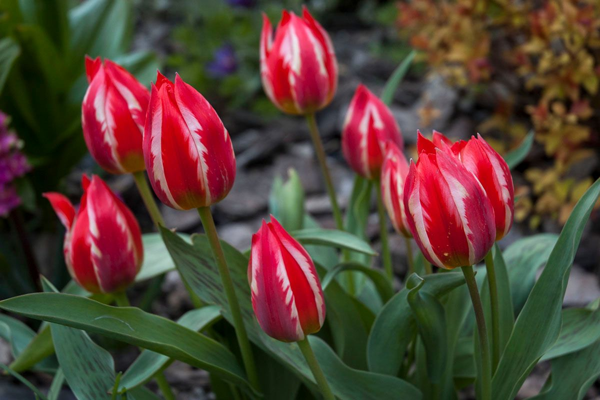 Тюльпаны. цветы весна