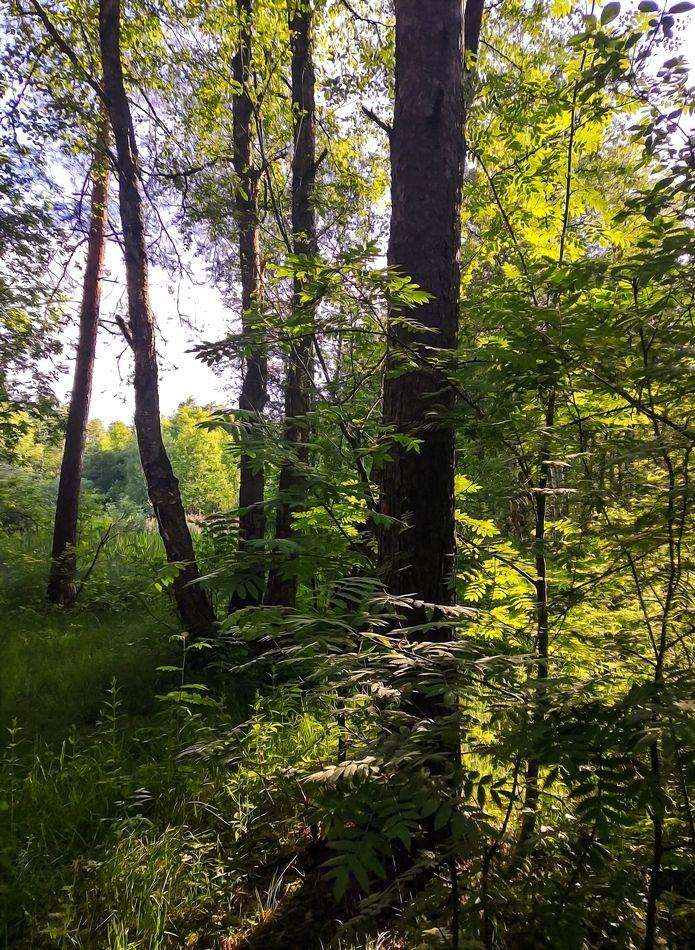 Вечером в лесу... лес вечер