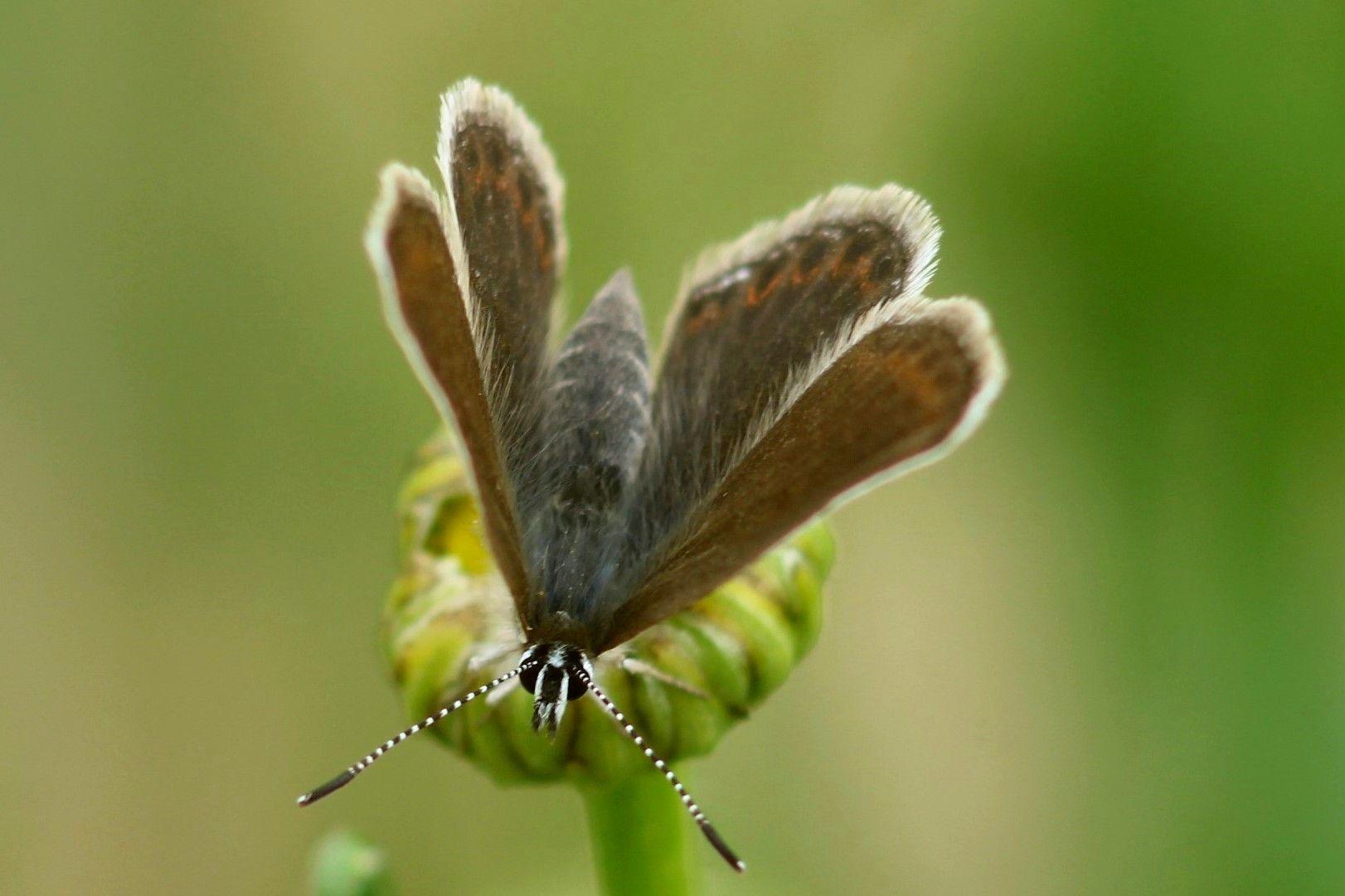 Бабочка (мохнатая) природа лето насекомые жара красота