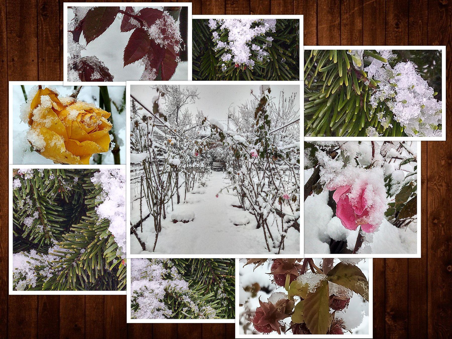 Ледяное безмолвие: все цвета моего зимнего сада дневники дом зима настроение пейзаж природа розы сад снег фотография