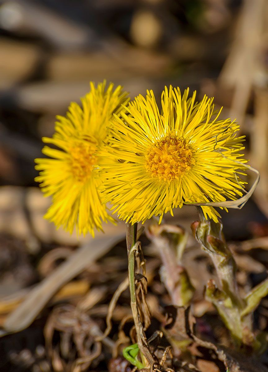 Скоро первые... мать-и-мачеха цветок весна цвет солнышко