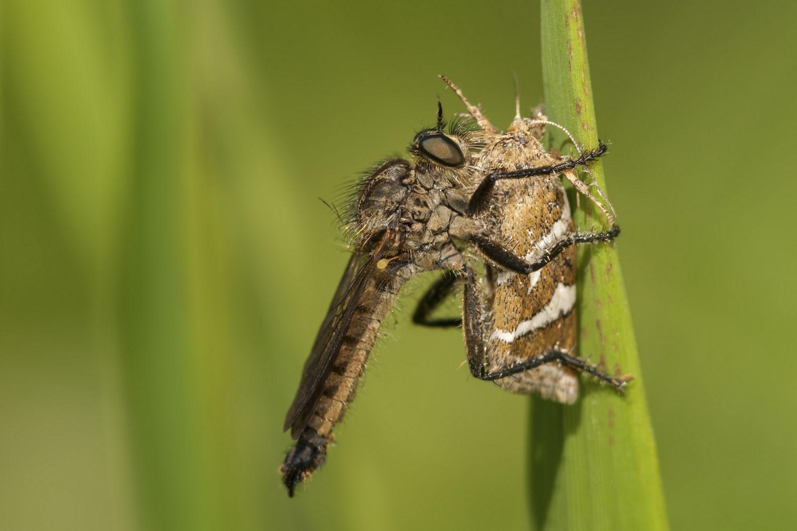 Ктырь за обедом Макро ктырь хищное насекомое