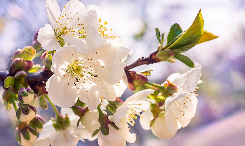 Цветы вишни на рассвете цветы вишни
