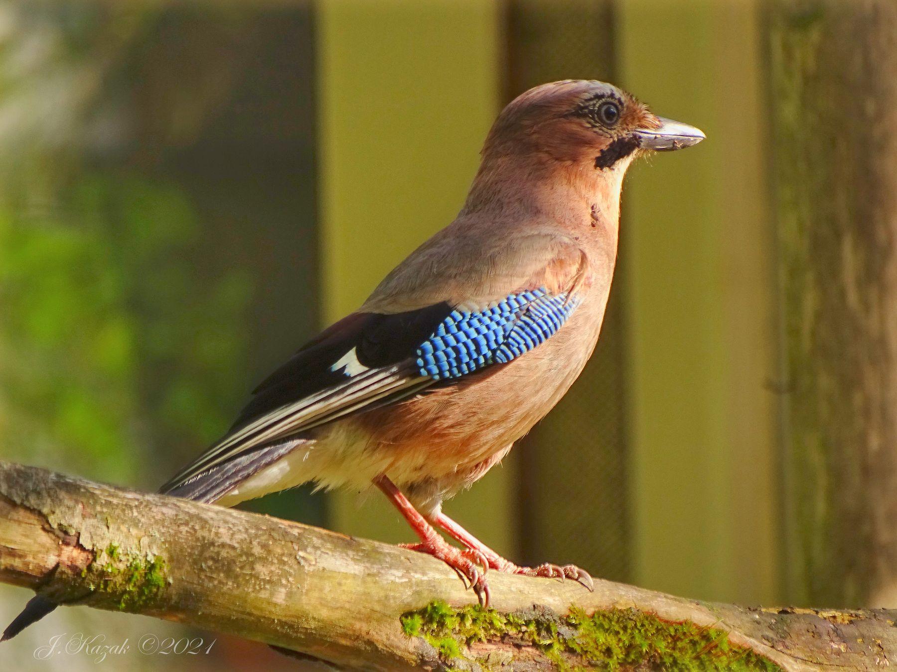 Сойка. животные природа птицы фауна