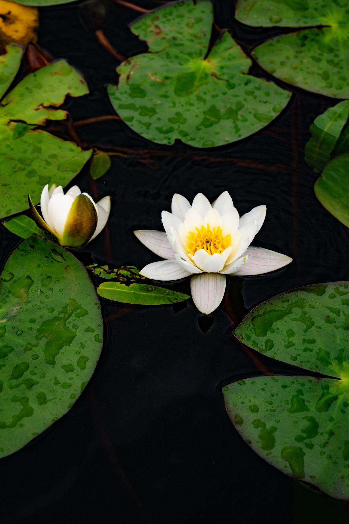 кувшинки цветы белая кувшинка