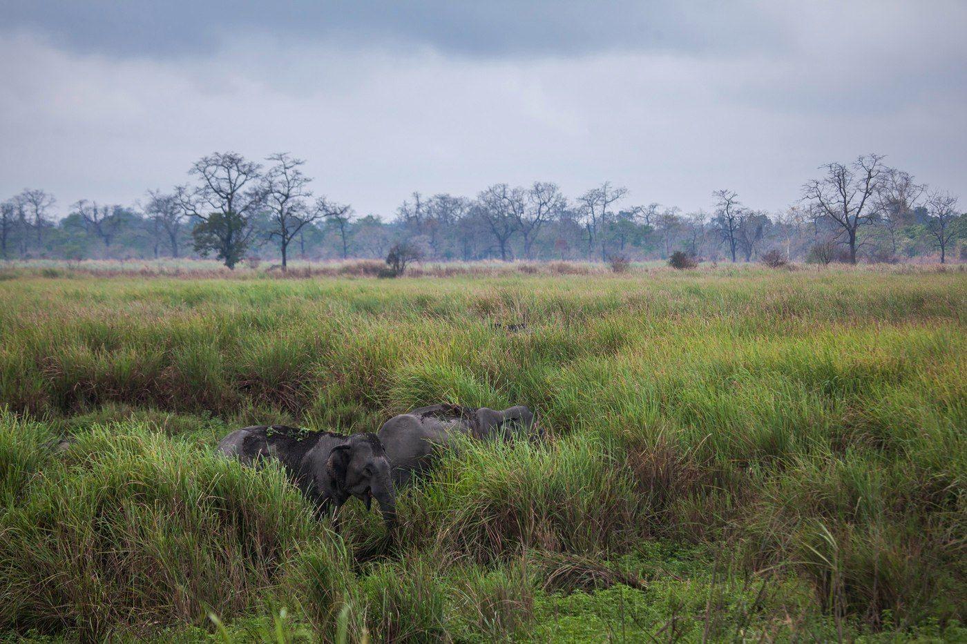 """""""Слоны прячутся в траве"""" Индия Казиранга национальный парк слоны животные путешествие"""