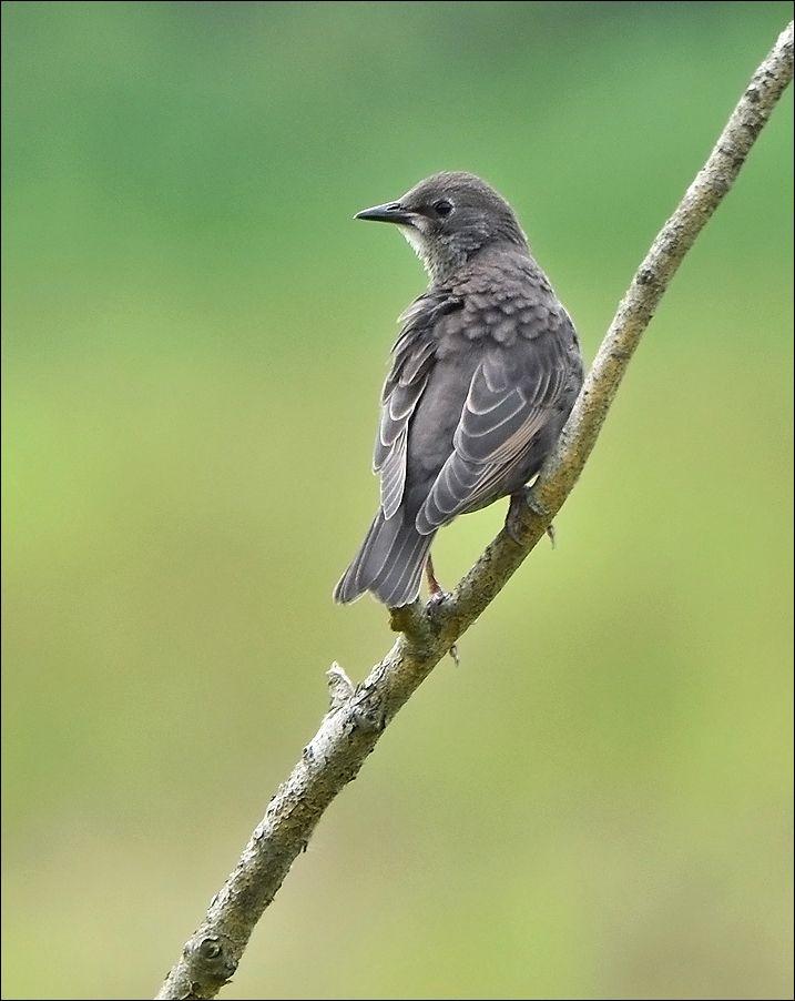 молодой скворец скворец птица Польша молодой ветка весна Бытом