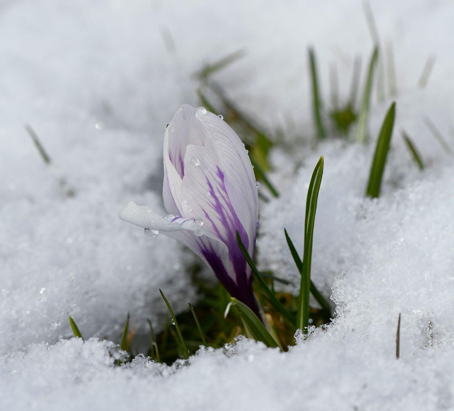 Весенний крокус Цветок крокус снег весна