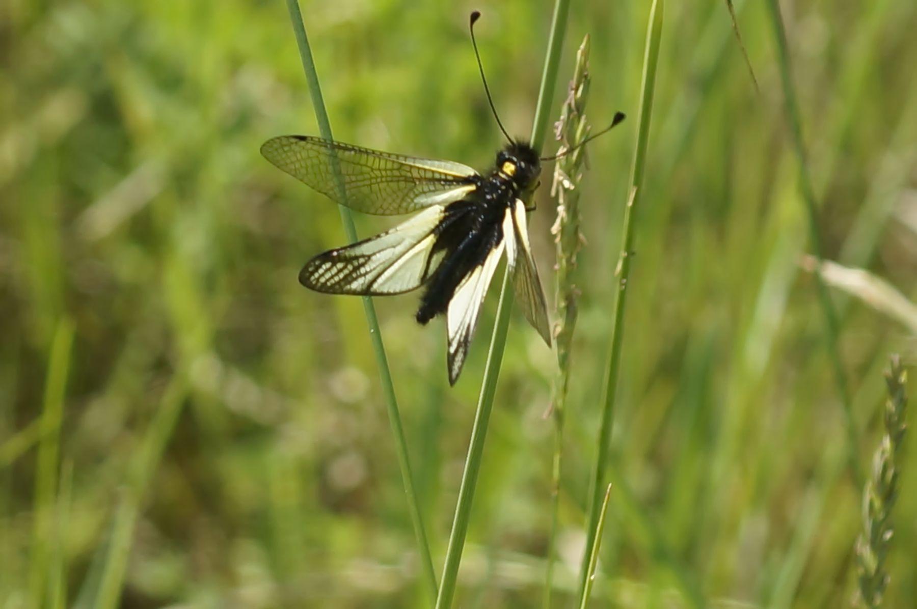 Аскалаф Сибирский Аскалаф Сибирский насекомое редкое