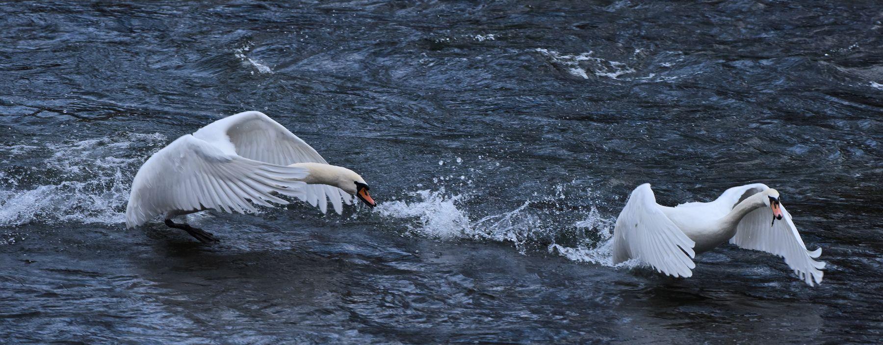 Весенние разборки утро река лебеди разборки