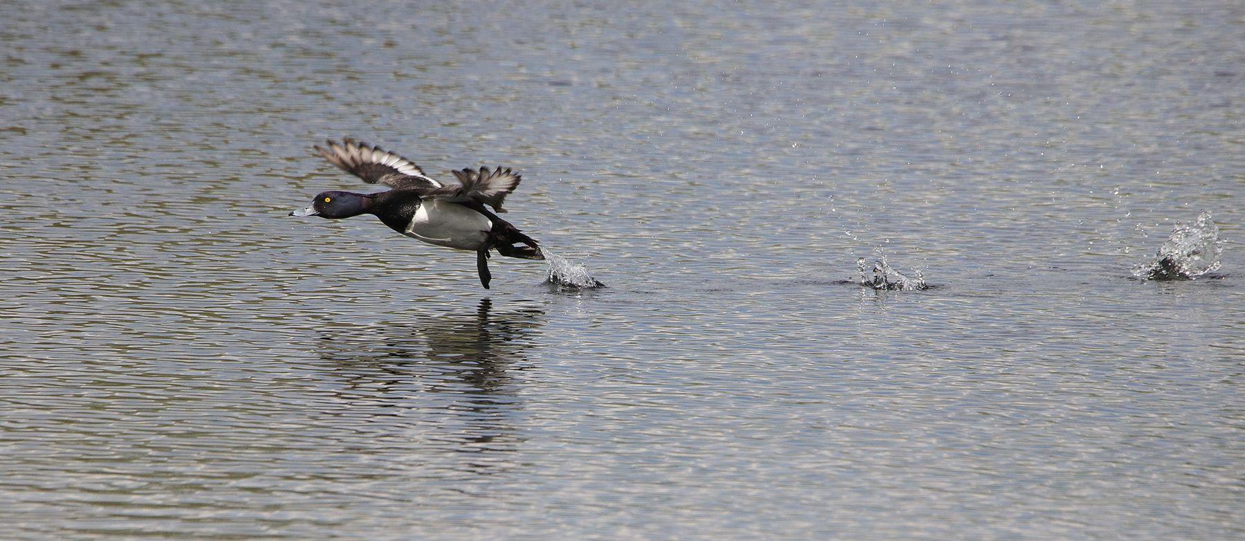 чернеть на взлете птицы водоплавающие хохлатая чернеть