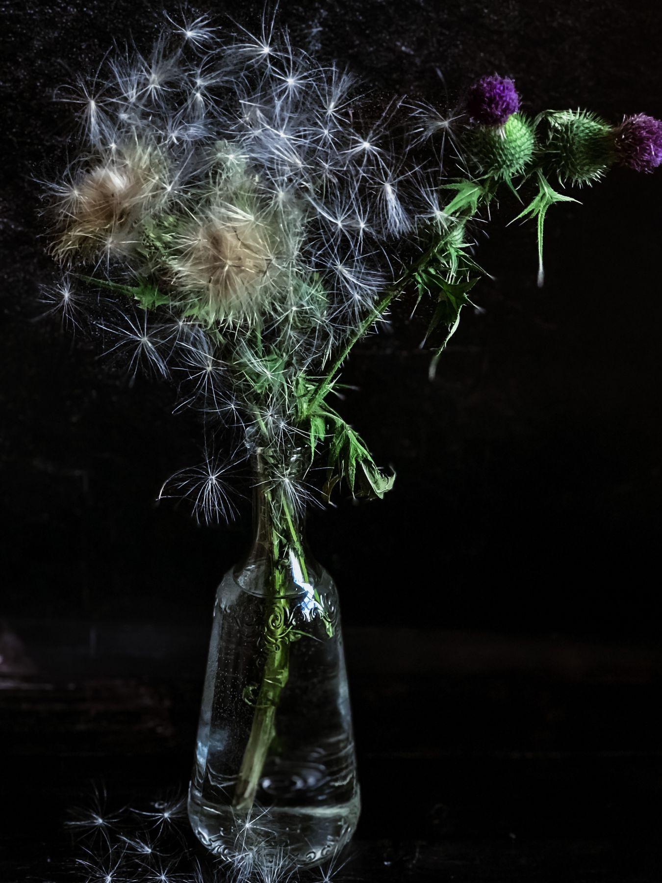 Пушистый чертополох Цветы чертополох натюрморт колючки
