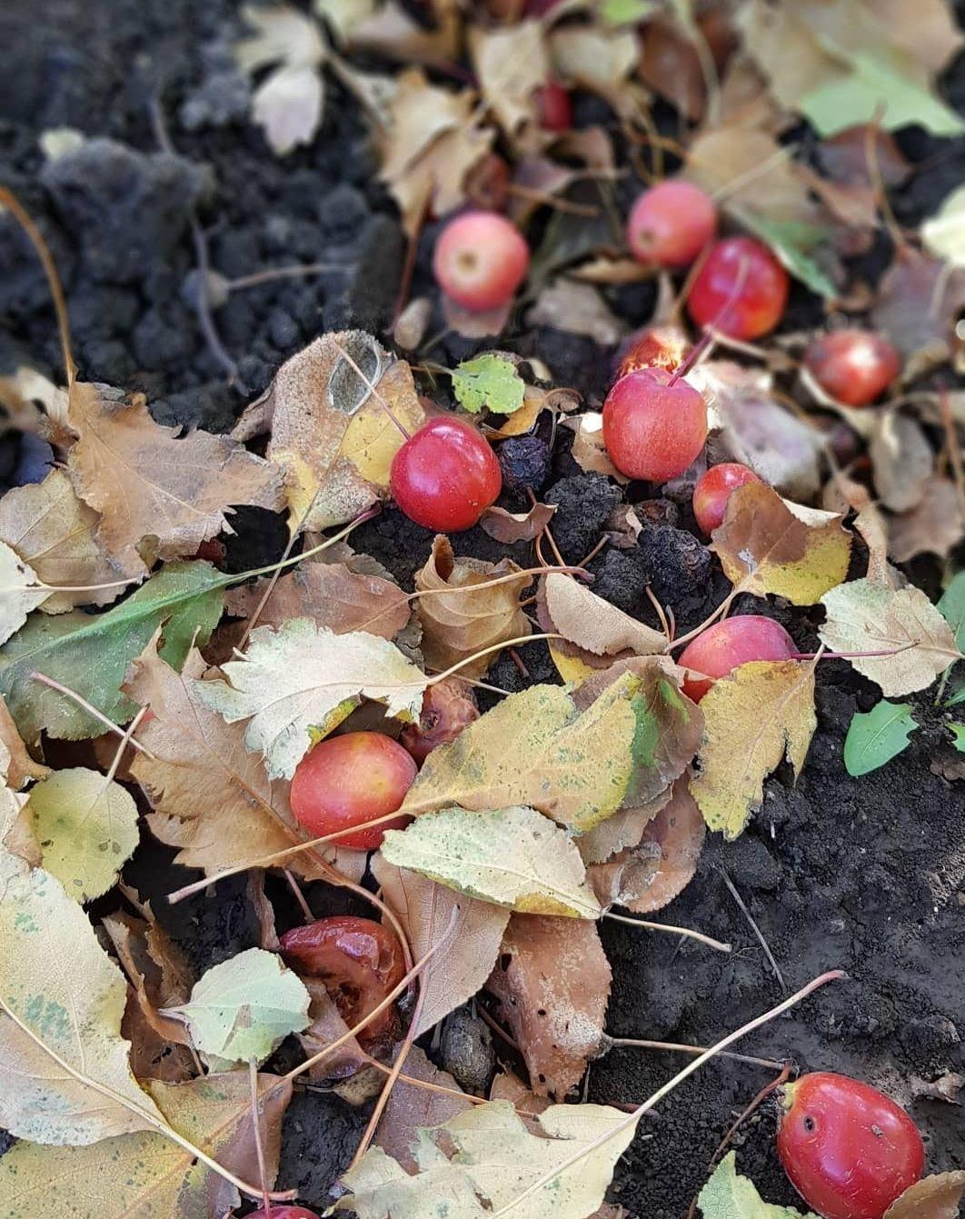 Райские яблочки Яблоки сад природа красота
