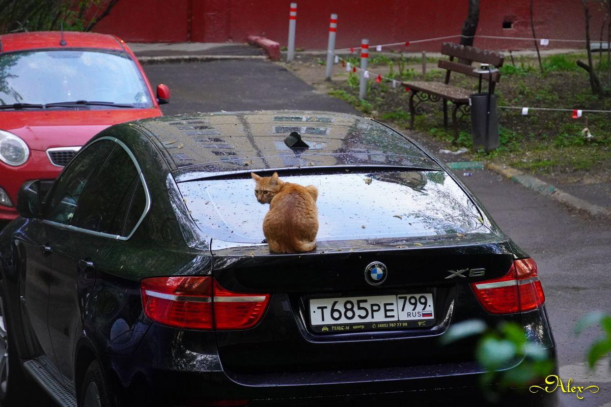 Сеня обхаживает машины кот Сеня машины двор пасмурно рыжий