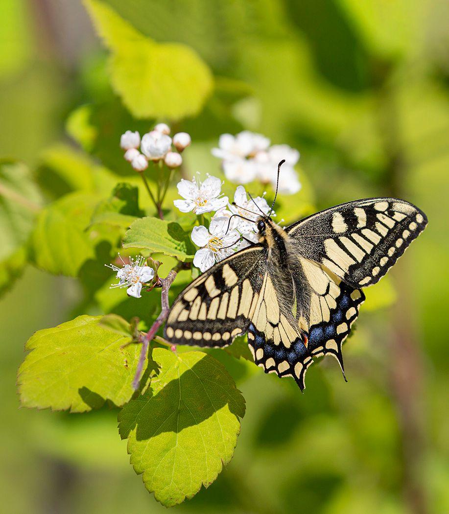 Майский бабочка махаон май Владивосток