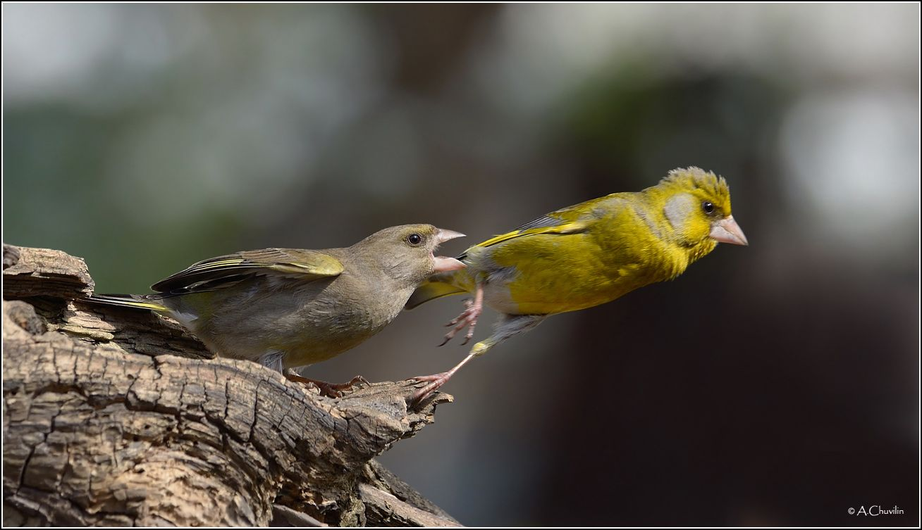 Не уходи, я всё прощу птицы зеленушки я всё прощу взаимодействия